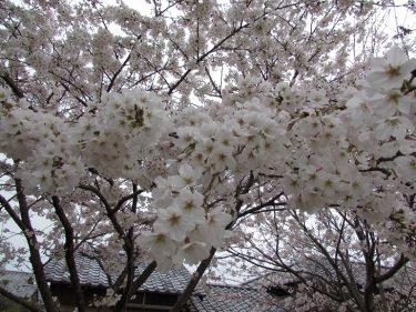 夢爺さんの頭のように爺さんの周りの桜は満開なりけり???